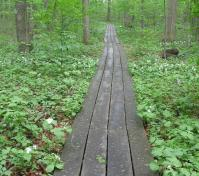 boardwalk path through green groundcover