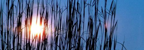 blue night sky peeking through the reeds