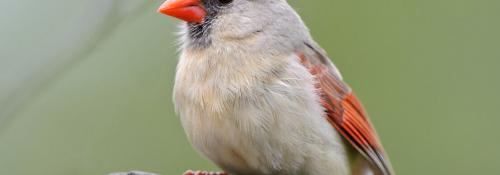 a female cardinal close up